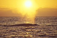 blue whale sunset photo