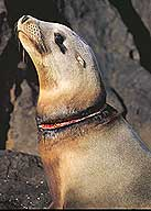 sealion wounded by fishing line