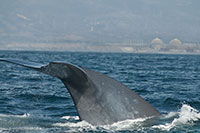 blue whale infront of the Southern California Edison San Onofre nuclear power plant