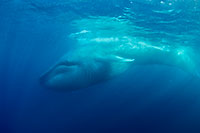 blue whale calf photo